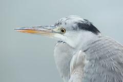 Close up (Teruhide Tomori) Tags: nature bird wild kyoto japan japon hirosawanoike pond winter animal greyheron アオサギ 野鳥 広沢池 京都 冬 鳥 動物 野生 日本