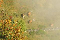 Autum cows Cordillera Cantábrica (xabiervp) Tags: vacas otoño outono autunm fall cows cordilleracantábrica