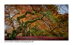 red fall (H. Roebke) Tags: 2018 badnenndorf baum canon1635mmf28lisiii canon5dmkiv color de farbe forest germany herbst landscape landschaft lightroom natur nature niedersachsen wald autumn contrast fall laub leaves rural tree süntelbuche