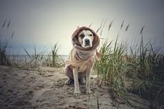 11/12 Edgar, my little Hobbit (Jutta Bauer) Tags: winter autumn november beach morning cold dog excellentedgar edgar 12monthsforedgar 12monthsfordogs