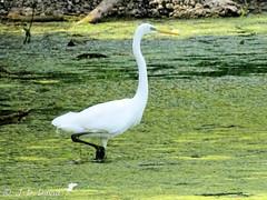 Grande Aigrette 04 (Jean-Daniel David) Tags: oiseau oiseaudeau grandeaigrette aigrette algue réservenaturelle lac lacdeneuchâtel vert blanc bokeh yverdonlesbains suisse suisseromande vaud échassier closeup grosplan
