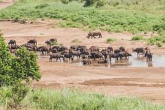 White rhino and Cape buffalo, Hluhluwe National Park, South Africa (Gerry Lynch/林奇格里) Tags: southafrica buffalo hluhluwe kwazulunatal rhino safari whiterhino