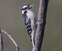 Robert, the Downy Woodpecker (Yer Photo Xpression) Tags: animal bird downywoodpecker 2019 ivyshaw ronmayhew canoneos6dmarkii coth coth5 fantasticnature