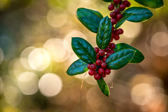 Red Berries Against a Backdrop of Bokeh Balls (John Brighenti) Tags: outside outdoors nature garden brookside wheaton maryland md moco montgomerycounty autumn fall flowers sony alpha a7rii ilce7rm2 sel70300g bokeh blur berries glossy leaves red bokehballs sonyshooter john brighenti johnbrighenti