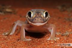 Pernatty Knob-tailed Gecko (Nephrurus deleani) (J.Ramos15) Tags: lizard gecko reptile australia nephrurus knobtail carphodactylidae south