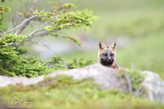 Cross Fox Kit (Megan Lorenz) Tags: crossfox fox redfox vulpesvulpes foxkit kit babyanimals animal mammal nature wildlife wild wildanimals newfoundland canada mlorenz meganlorenz