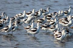 American Avocet (Recurvirostra americana) (Betsy McCully) Tags: floridabirds avocets americanavocet recurvirostraamericana