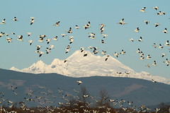 Mt. Baker 10,781' - North Cascades, WA (Nick Dean1) Tags: mtbaker cascades chencaerulescens goose geese animalia chordata aves anseriformes anatidae waterfowl mountain snow snowgoose skagitcounty skagitvalley washington washingtonstate washingtonusa