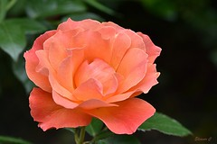 Weekend Rose (Eleanor (No multiple invites please)) Tags: flower rose orangerose busheyrosegarden bushey uk nikond7200 june2018 coth5