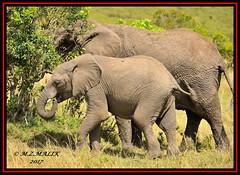 PAIR OF AFRICAN ELEPHANTS (Loxodonta africana)....MASAI MARA....SEPT 2017 (M Z Malik) Tags: nikon d3x 200400mm14afs kenya africa safari wildlife masaimara keekoroklodge exoticafricanwildlife elephants ngc npc