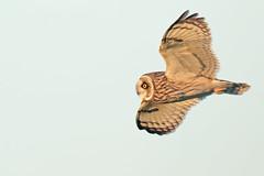 Short Eared Owl (drbut) Tags: shortearedowl asioflammeus birdofprey owls grassland voles avian bird birds farmland wildlife nature canonef600f4lisusm canonextender14iii