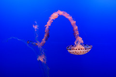 Jellyfish (Eric Bloecher) Tags: jellyfish exhibit monterey bay aquarium california see ocean animals animal fish blue