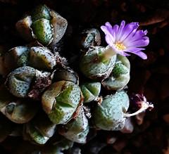 Conophytum taylorianum (Dinter & Schwantes) N.E.Br.