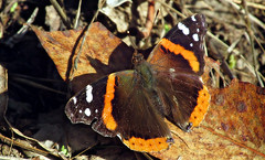 Admiral of Albany Hill (TJ Gehling) Tags: insect lepidoptera butterfly nymphalidae admiral admiralbutterfly redadmiral vanessa vanessaatalanta albanyhill albanyca
