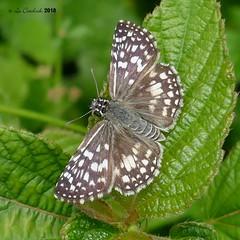 Pyrgus oileus - female (LPJC) Tags: panama 2018 lpjc butterfly skipper pyrgusoileus