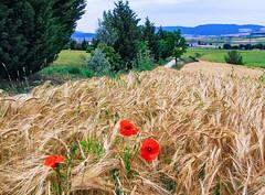 TRIGO (jramosvarela) Tags: amapolas campos trigo fields grain