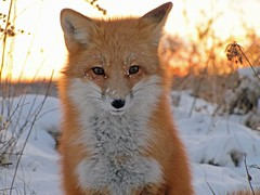 Snow Angel #2 (marylee.agnew) Tags: snow fox renard vulpes red ice winter solstice close cute nature wildlife outdoor sweet