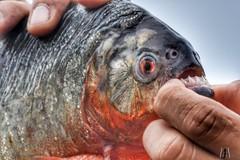 Piranha , Amazon (SuzieAndJim) Tags: predator fish amazon teeth piranha suzieandjim