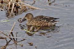PPCC (R.D. Gallardo) Tags: pato duck vitoria salburua observatorio bird canon eos 6d eos6d raw retrato sigma 150500 tele