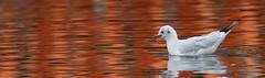 Guincho-comum - (Larus ridibundus) - Black-headed gull (carloscmdm) Tags: etar beirolas guinchocomum larus ridibundus blackheaded gull