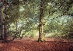 The coordinator (Ingeborg Ruyken) Tags: 2018 autumn october woods berlicum fall flickr herfst ochtend morning wamberg tree forest oktober natuurfotografie 500pxs instagram shertogenbosch bos