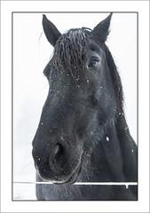 Regard chevalin (Horse look) (Francis =Photography=) Tags: europa europe france grandest lorraine vosges 88 chevaux cheval brume horse mist rencontre encounter meet look regard lehautdutôt