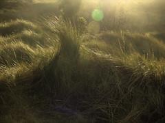 The Cowlick (Steve Taylor (Photography)) Tags: cowlick green brown newzealand nz southisland canterbury christchurch newbrighton dunes grass glow lensflare autumn dawn sunrise sunny sunshine