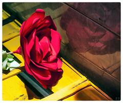 Rosa rosae (celemirosotichez) Tags: spiritofphotography lookingcloseonfriday reflejo