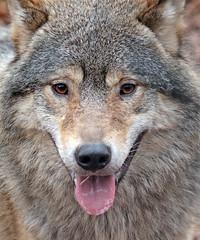 european wolf Ouwehands 094A0808 (j.a.kok) Tags: animal mammal zoogdier dier predator ouwehands wolf europe europa europeanwolf europesewolf