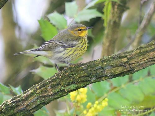 Cape May Warbler - Abbotsford, BC
