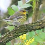 Cape May Warbler - Abbotsford, BC thumbnail