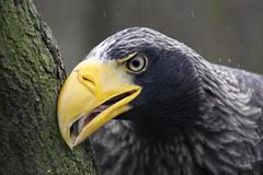 Stellers Sea Eagle (K.Verhulst) Tags: stellersseaeagle stellerszeearend zeearend arend seaeagle eagle birds vogels blijdorp blijdorpzoo diergaardeblijdorp rotterdam