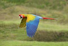 Scarlet Macaw (ashockenberry) Tags: macaw