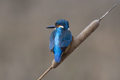 DSC_9118 (Jesus DTT) Tags: martínpescador alcedoatthis ríoguadiana kingfisher lamancha typhadomingensis typhalatifolia enea puro commonkingfisher