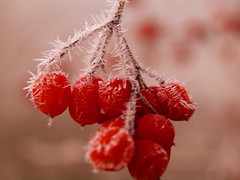 COLOURS OF WINTER ON A GREY DAY _C250112 (hlh 1960) Tags: red rot nature natur beeren cold kalt frost eis ice macro stille ruhe germany winter frosty farben colour outside outdoor bokeh soft