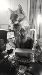 Isabella in the middle of it all... in a tiny box (suzeesusie) Tags: cat tortie bnw noir monotone kitty animal table pet camera box