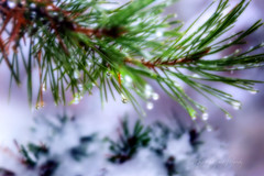 Waldpoesie (Edi Gollasch) Tags: wald zweig kiefer schnee winter tropfen licht outside