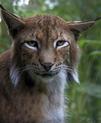 Luchsportrait / Potrait os a Lynx (uwe125) Tags: wisentgehege springe fressen beute luchs katze säugetier raubtier predator tier animal lynx eurasian