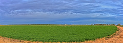 Alfalfa Field (http://fineartamerica.com/profiles/robert-bales.ht) Tags: field grow sky crop summer green grass farm agriculture alfalfa farmland cloud country plant land cultivate farming landscape nature scenic rural spring cultivation squarebales feed hay hayfield haybale harvest cultivatedland alfalfafield leaf lush farmer panorama medicago agricultural pasture cultivated haying lucerne legume yuma robertbales panormaic pano