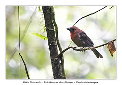 Red-throated ant-tanager (Jan H. Boer, Nature photographer) Tags: habiafuscicauda redthroatedanttanager roodkeelmiertangare birds tanagers wildlife nature costarica nparenal nikon d500 afsnikkor200500f56eedvr jan´sphotostream2018