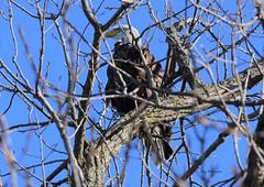 Bald Eagle_0093 (2) (Porch Dog) Tags: 2018 garywhittington nikond750 nikkor200500mm outdoors wildlife nature baldeaglel mature bird feathers avian