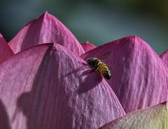 Bee_SAF1999-2 (sara97) Tags: bee citypark copyright©2018saraannefinke flower insect missouri nature photobysaraannefinke pollinator saintlouis towergrovepark towergrovepark2018 urbanpark