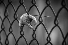 Caught (tim.perdue) Tags: caught leaf chain link fence maple dead autumn fall nature season black white bw monochrome monovember 2018 monovember2018 hoover reservoir mudflats boardwalk galena ohio nikon d5600 70300mm nikkor detail closeup curled shriveled decay delaware county rural