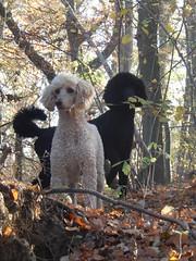 Roy & Laika (Frank Berbers) Tags: roy laika grotepoedel koningspoedel grandcaniche grospudel domesticanimal dog hond chien hund hoensbroek roylaika nikoncoolpixs9500
