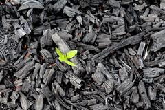Dodonaea regeneration and charcoal after Mauna Loa Strip Road fire (J. B. Friday) Tags: volcano hawaiivolcanoesnationalpark maunaloa wildfire dodonaeaviscosa dodonaea sapindaceae