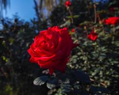 2018 Autumn rose (shinichiro*) Tags: 20181102sdim6794 2018 crazyshin sigmasdquattroh sdqh sigma1770mmf284dcmacrohsm november autumn yokohama 横浜イングリッシュガーデン rose flower macro 31054049297 4342249 201901gettyuploadesp