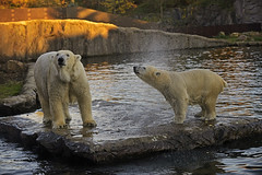 Eisbär (Michael Döring - thx for 20.000.000 views) Tags: gelsenkirchen bismarck zoomerlebniswelt zoo eisbär polarbear afs70200mm28g d800 michaeldöring