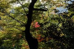 maple tree (ababhastopographer) Tags: 朝日 sunlight ray 靄 haze kyoto takao kozanji momiji autumn morning acerpalmatum 京都 高雄 高山寺 楓 カエデ 紅葉 モミジ 秋 朝
