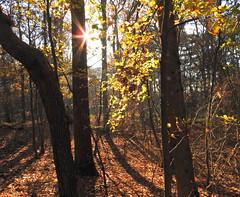 autumn sun (bugman11) Tags: tree trees woods nature autumn nikon coolpix nederland thenetherlands santpoort zuidkennemerland landscape leaf leaves sun thegalaxy platinumheartaward contactgroups infinitexposure