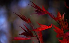 Autumn Fire (Violet aka vbd) Tags: pentax k1ii k1markii hdpentaxda55300mmf4563edplmwrre ct connecticut newengland vbd trumbull leaves red bokeh handheld 2018 manualexposure fall fallcolor autumn foliage fall2018 japanesemaple
